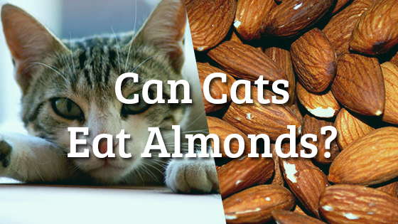 Can Cats Eat Almonds? | Pet Consider