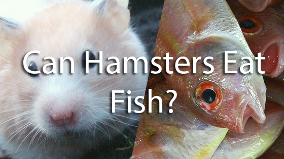 can i give my hamster fish   Pet Consider
