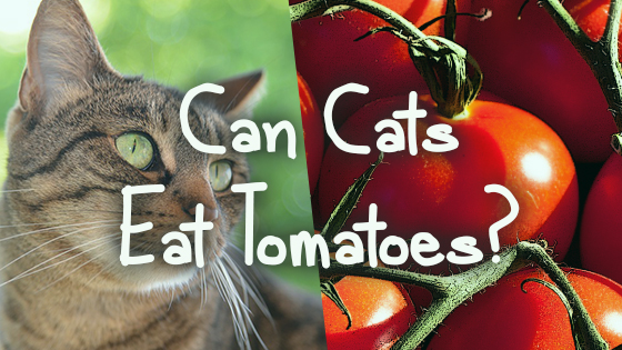 can cats eat tomatoes pet consider. Black Bedroom Furniture Sets. Home Design Ideas