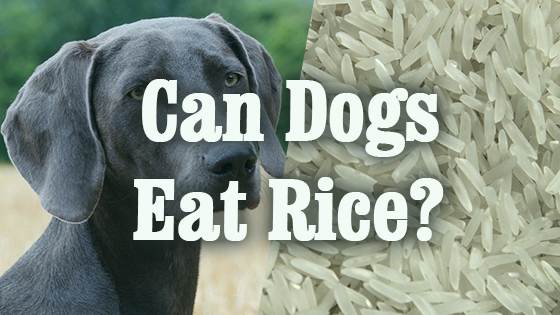 Can Dogs Eat Rice Pet Consider