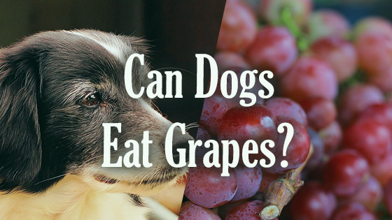 can dogs have grapes can dogs eat grapes pet consider 28682