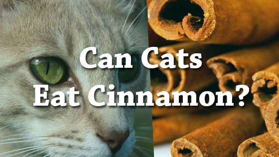 Can A Cat Eat Cinnamon