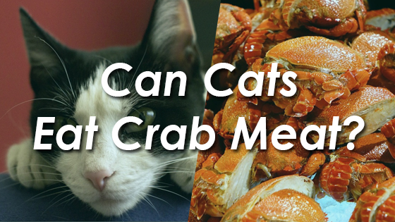 Can Cats Eat Crab Meat? | Pet Consider