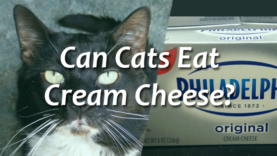 Can Cats Eat Cream Cheese Pet Consider