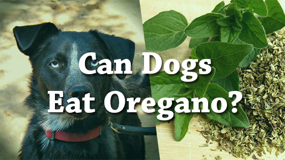 Can Dogs Eat Oregano
