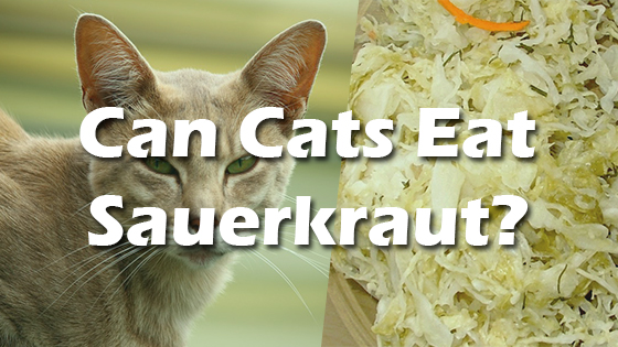 Important New Scientific Discovery! Can-Cats-Eat-Sauerkraut