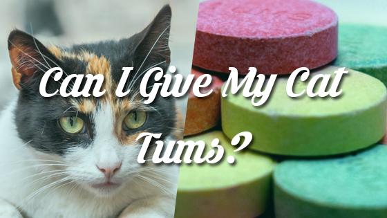 Can I Give My Cat Tums?