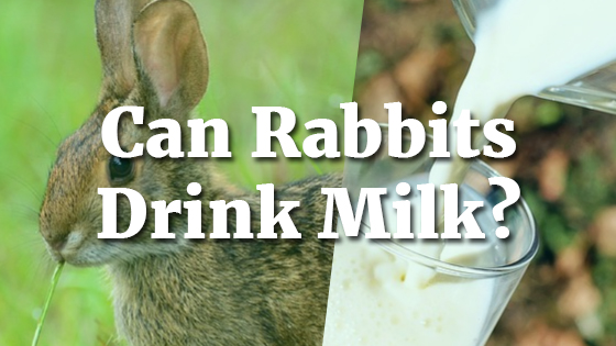 What Milk Can Baby Rabbits Drink