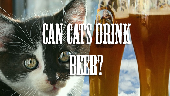 Can Cats Drink Beer?