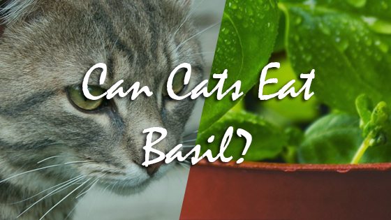 can cats eat basil pet consider. Black Bedroom Furniture Sets. Home Design Ideas