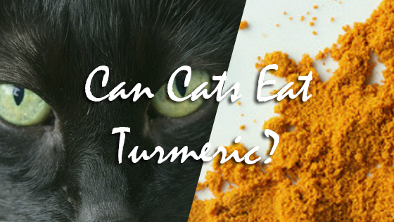 Can Cats Eat Turmeric?