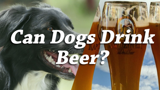 Can Dogs Drink Beer?