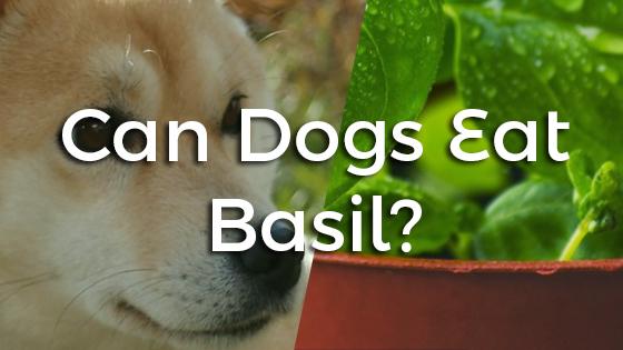 can dogs eat basil pet consider. Black Bedroom Furniture Sets. Home Design Ideas