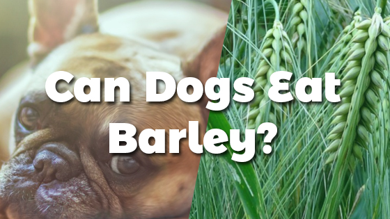 Can My Dog Eat Barley