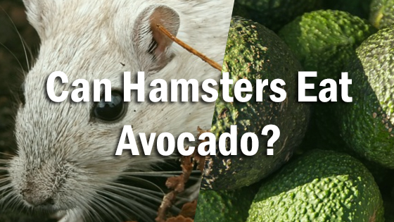 Can Hamsters Eat Avocado?   Pet Consider