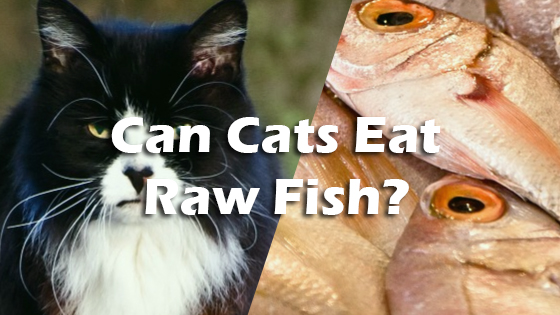 can cats eat raw fish pet consider