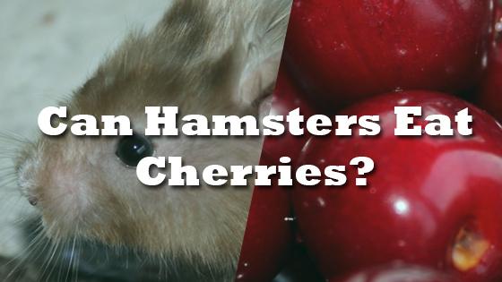 Can Hamsters Eat Cherries? | Pet Consider