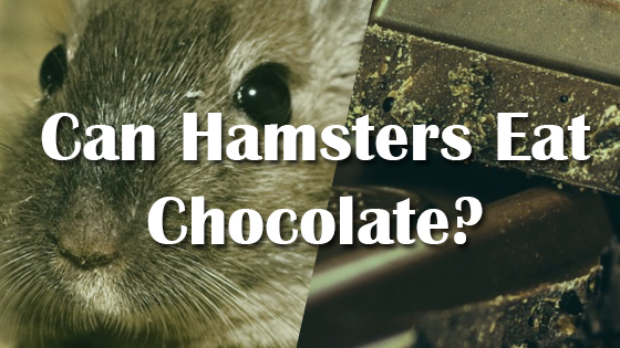 Can Hamsters Eat Chocolate? | Pet Consider