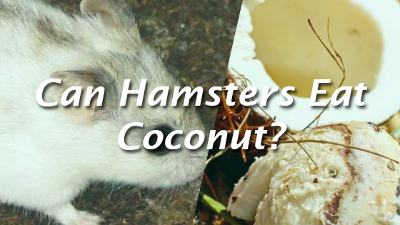 Can Hamsters Eat Coconut? | Pet Consider